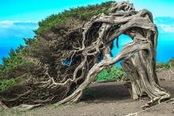 Garoé, the holy tree in El Sanibal of El Hierro. Wind swept old Juniper Tree. Canary Islands.