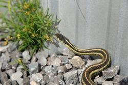 Garter snake on gravel beside a house.