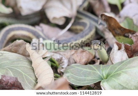 Garter snake peeking out from leaves. - stock photo