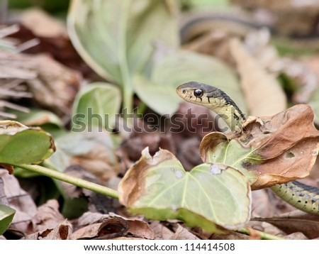 Garter snake peeking out from leaves.