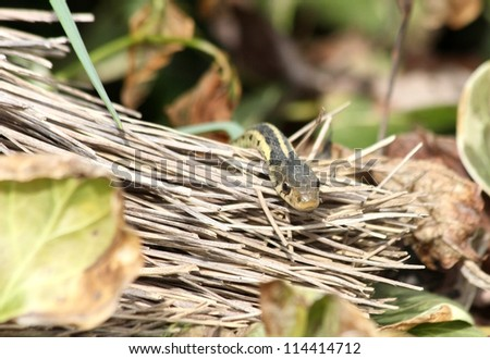 Garter snake peeking over an old broom.