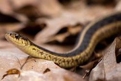 Garter snake slithering through the woods