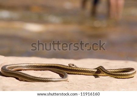 Garter snake suns itself on a rock by the side of a river.