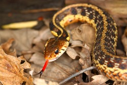 Garter Snake (Thamnophis sirtalis) with extended tongue in northern Illinois