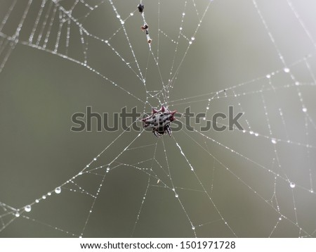 Gasteracantha cancriformis is a native spider of South America, Central America, the Caribbean and North America.