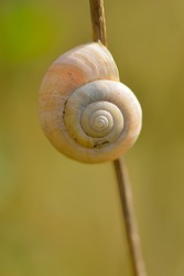 Gastropoda helix on a blade of grass