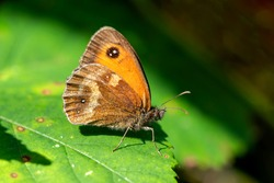 Gatekeeper Butterfly (Pyronia tithonus) showing underside of a wing an insect flying in spring sometimes known as Hedge Brown stock photo image