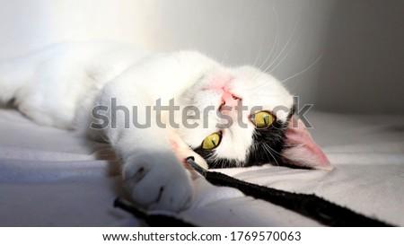 Gato de pêlo branco e preto e olhos amarelos deitado brincando olhando para câmera Foto stock ©