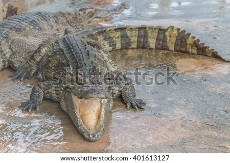 Gators hold the animal at the top of the food chain ah. Because of the large carnivorous predators. That no natural enemies Except in young alligator The food becomes larger.