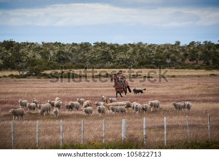 Gaucho, Carlos Martines, of Chile, rides with herd of sheep back to the barn