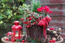gaultheria procumbens and red cyclamen flower in basket as winter garden decoration