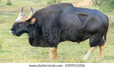 Gaur  eating grass in real nature in Thailand (Khao Pheangma) #1009015006