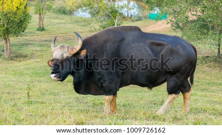 Gaur  eating grass in real nature in Thailand (Khao Pheangma) #1009726162