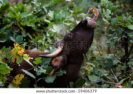 Gaur. / Large wild bull Gaur a long tongue breaks leaves from bushes and trees.