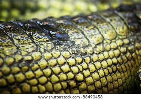 gavial crocodile close up macro