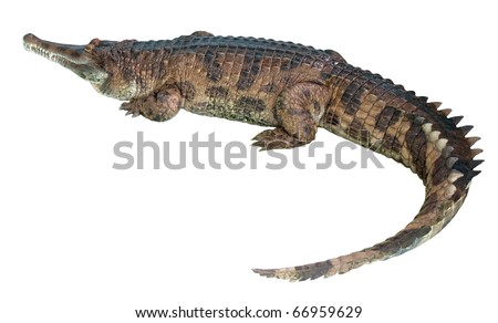 gavial isolated on whie