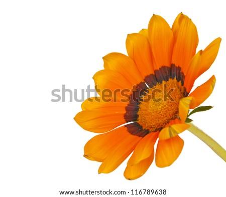 Gazania flower isolated on white background