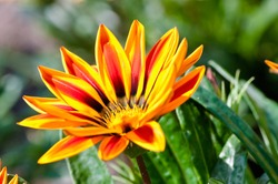 Gazania flower native to South Africa, but found widely in Australia