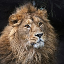 Gaze of an Asian lion in forest shadow. Calmness of the King of beasts, biggest cat of the world. The most dangerous and mighty predator of the world. Square image.