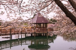 Gazebo on lake surrounded by cherry blossoms at Meadowlark, a Northern Virginia Regional Park in spring.
