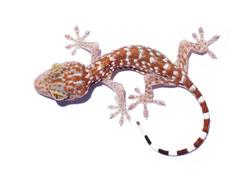 Gecko climbing on white background