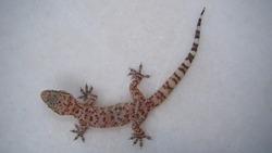 Gecko - close up Amazing Camouflage Animals, Camouflage lizards It's also called Mediterranean house gecko, akdeniz sakanguru, pacific house gecko, wall gecko, house lizard reptile, reptiles, animal