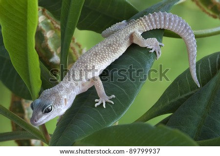 Gecko Eublepharis macularius on a plant - stock photo