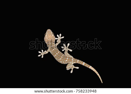 Gecko gecko from Asia