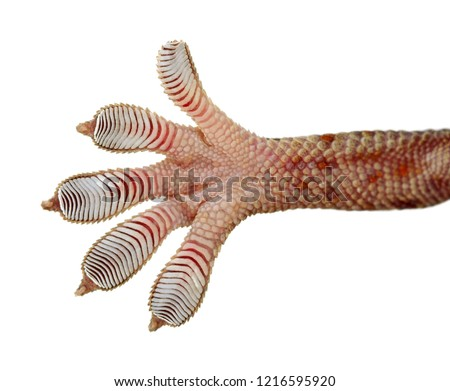 Gecko leg, Fingers  Gecko Close up on glass isolated on isolated on white background