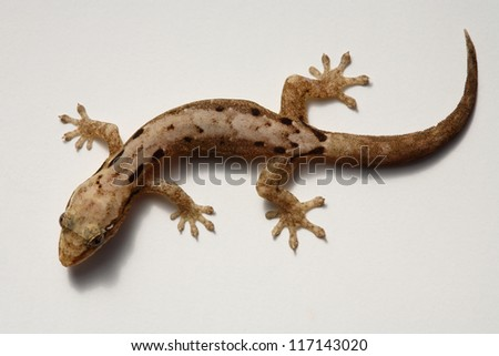 Gecko / lizard  isolated on white background