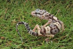 Gecko named scientific Leopard Gecko Line Bred Super Snow