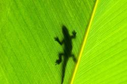 Gecko silhouette on backlight leaf