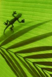 Gecko sillhouette
