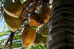 Gecko up in the tree on Coconut fruits