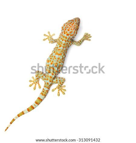 gecko (Xylotrupes Gideon) isolated on white background