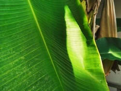 Geen texture closeup : Geen plants and trees in nature concept,Tropical banana leaf texture, large palm foliage nature dark green background.The leaves of the banana tree Textured abstract background.
