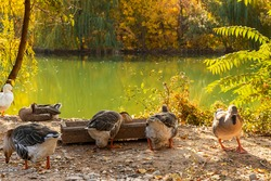 Geese. A family of geese. House for geese in the park. Geese in the park by the lake. Wooden house for water birds. Bird feeders. Gold autumn. Yellow leaves on the trees. Autumn pond