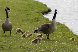 Geese and babies in Zwolle (Netherlands)