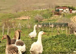 geese and ducks are indispensable for village life, ducks and geese fed in the garden of the house in the countryside