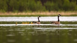 Geese and Goslings on a Lake in Spring
