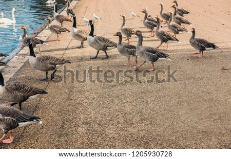 Geese, Canadian Geese and seagulls walking near Serpentine Lake in London