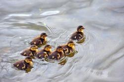 geese chicks swim
