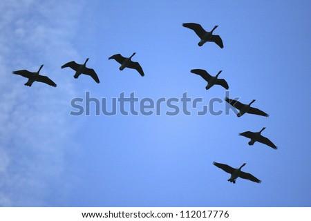 Geese flying in flock