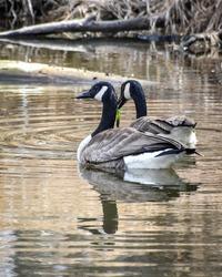 Geese Goose Swimming water bird lake river pair of geese