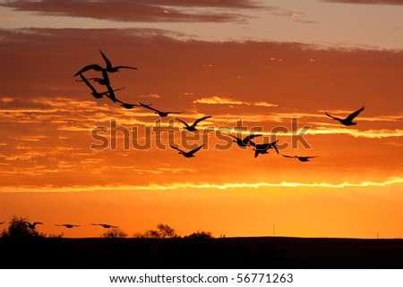 Geese in Flight on Brilliant Sky - stock photo