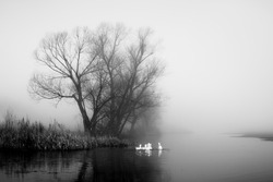 Geese in fog. Flock of birds swims near shore of river under trees. Beautiful spring landscape in morning. Reflections in water. Black and white photo