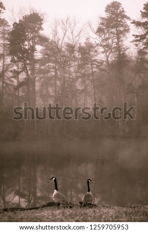 Stock Photo Geese in forest by lake monochrome