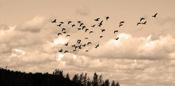 Geese migrate each year, many hunters await for flocks of Canadian geese