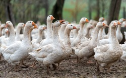 Geese on a poultry farm