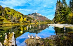 Geese on mountain forest lake water. Three geese at mountain lake. Mountain lake in autumn landscape. Autumn mountain lake landscape